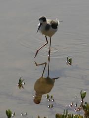 Cigüeñela común disfrutando reflejada en la Charca Himantopus himantopus