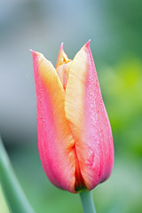 Pink Tulip.   ©CCphotoworks (CCphotoworks) Tags: mayflowers may2016 singletulip tulip springtime pretty flowerbokeh bokeh macroflower macro springflowers spring pinkflower pink pinktulip ccphotoworks
