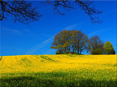 Rapeseed Field (Ostseetroll) Tags: trees field geotagged deutschland spring bume raps deu schleswigholstein frhling rapeseed sierhagen neustadtinholstein geo:lat=5411676405 geo:lon=1077741000