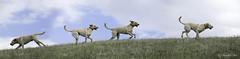 Chaco - Four Dogs in One Body (Blazingstar) Tags: studio labrador time 26 retriever chaco