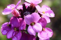 Happy Sunday! (ursulamller900) Tags: macro purple erysimum extensiontubes goldlack makroringe