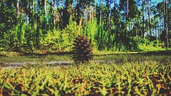So lonely #nature #naturewalk #walking #walk #grass #green #grassisgreener #grassisgreenerontheotherside #lonely #one #earth #world #motberearth #pinecone #ground #trees #tree #goingonwalks #outside #natureoutside (forrestrouble) Tags: world trees tree green nature grass walking outside one earth walk ground lonely pinecone grassisgreener naturewalk natureoutside grassisgreenerontheotherside goingonwalks motberearth
