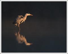 tout premier rayon de soleil dans la brume (guiguid45) Tags: bird nature nikon ardeacinerea oiseaux étang sauvage greyheron loiret héroncendré 500mmf4 d810