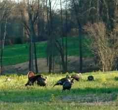 Wild turkeys (Larry the Biker) Tags: field turkey spring michigan wildlife turkeys rochesterhills wildturkey wildturkeys