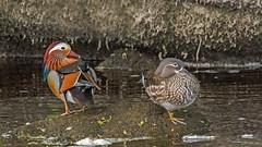 Mandrin Ducks (boogie1670) Tags: abbey canon river wildlife yorkshire ducks sigma bolton waterfowl dales contempory wharfe mandrin 150600mm canon7dmarkii