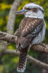 Kookaburra (andymulhearn) Tags: canon kookaburra canonef70200mmf4lusm flickrbirds eos7d2 axevalleywildlifepark