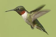 Ruby-throated Hummingbird (Archilochus colubris) (Steve Byland) Tags: canon 7d rubythroated markii archilochus colubris 1000mm