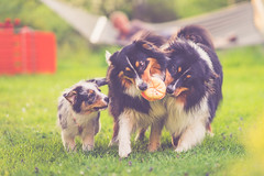 Playtime (Bokehschtig (OFF)) Tags: playing dogs puppy fun dof bokeh sony aussie australianshepherd merle a7 hunde dephtoffield blacktri sonya7 fegm1485