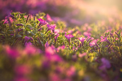 Limitless Love (Elizabeth_211) Tags: flowers summer nature floral backlight garden colorful purple blossom 100mm petunias