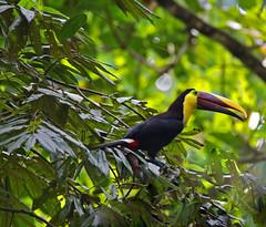 Chestnut-mandibled Toucan (vil.sandi) Tags: toucan nationalpark wildlife panama darien chestnutmandibledtoucan ramphastosswainsonii braunrckentukan
