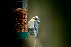 Young Blue Tit (SKAC32) Tags: bird feathers young peanuts somerset bluetit scruffy somerton