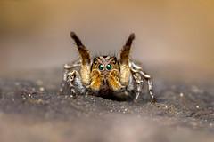 On stage (Tom Rop) Tags: macro nature animal canon spider jumping sigma araigne arachnida araneae 105mm arachnide salticidae 600d araneomorphae sauteuse aelurillus vinsignitus