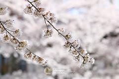 Sakura - 7615 (webzer) Tags: flowers flower japan spring asia outdoor cherryblossom sakura takayama gifu chubu webzer akosizer zercabatuan travelzer