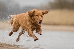 Splash! (Bea Antoni) Tags: dog pet canon wasser action retriever hund haustier novascotiaducktollingretriever canonef70200mmf4lisusm canoneos7dmarkii