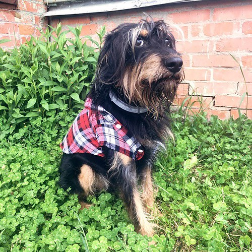 "Когда рубашка мала или ""только не выкладывай, а?"" #brooks_the_dog #собака #хипстер #рубашка #возьмидругаизприюта #adoptdontshop #dog #doggy #black #дача #хотьково #instadog #dogsitting #instagood #instamood #iphoneonly #iphonesia"