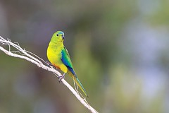 Orange-bellied Parrot (Tobias Hayashi Photography) Tags: male bird parrot australia tasmania endangered wilderness tas melaleuca criticallyendangered southwestnp neophemachrysogaster orangebelliedparrot psitaciformes
