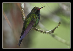 La joya del Pinar (Guillermo Armenteros) Tags: repúblicadominicana tropicalbird cordilleracentral canon7d zumbadoresmeralda chlorostilbonswainsonii hispaniolanemerald ef500mmf4lisusm14x
