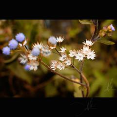 Wild Flower (t L) Tags: wild flower beautiful 35mm nikon f18 afs d300 dulch hgiang bi pht ngvn lngc tl datphat82