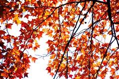 Maple curtain  (Melinda ^..^) Tags: china autumn red plant tree fall nature leaves maple mix branch suzhou curtain mel foliage melinda         chanmelmel