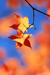 Autumn colors (Dalang55555) Tags: autumn tree fall season leaf maple read    img5742