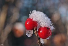 Ambiance de Nol / Christmas climax (alain.maire) Tags: christmas winter snow ice nature hiver neige glace winterberry ilexverticillata houxverticille