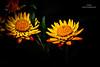 Daydream Believer (Vinu Thankachan) Tags: autumn flower cute love nature yellow evening spring nikon yellowflower daydream believer niceflower everlastinglove daydreambeliever cuteflower goldenflowers d3100 nikond3100 everlastingfloer