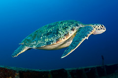 turtle7867ws (gerb) Tags: blue water 1025fav 510fav nice topv555 topv333 underwater turtle topv1111 topv999 scuba swimmer topv777 fin wreck lapaz seaofcortez aquatica d7000 sunkentreasureaward sigma1017fe