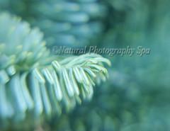 Shadows of the Forest (NaturalPhotographySpa) Tags: pinetree shadows bokeh illusion imagination californiawinter holidayspirit greenandwhite smoothbokeh microkit lensbabycomposer forestfairytale decemberscenery