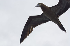 Brown Booby - Sula leucogaster - juvenile