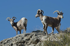 Pennisular Bighorn-3