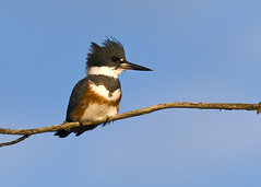 Female Belted Kingfisher (snooker2009) Tags: bird nature wildlife kingfisher beltedkingfisher