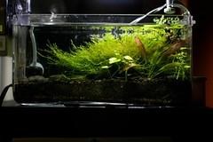 front view (Mauricio Tejerina) Tags: xmas plants aquarium moss ghost shrimp pico crypt pennywort