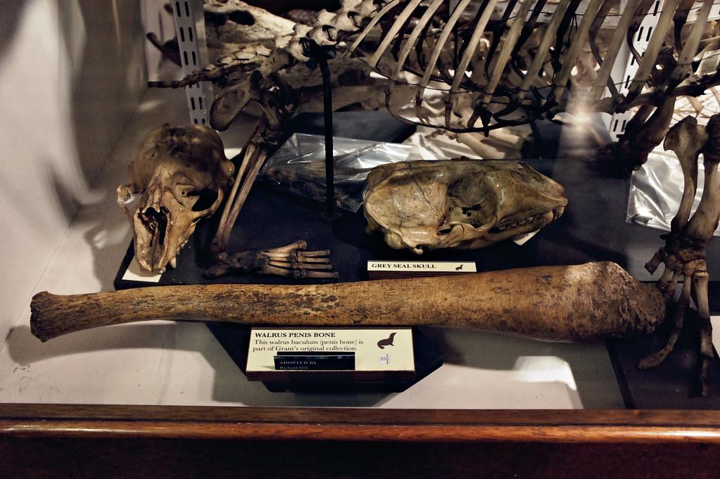 Walrus penis bone