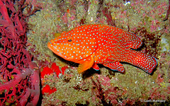 (Gall) Tags: thailand underwater dive diving similan plonge grouper thailande andaman similanisland actinopterygii serranidae