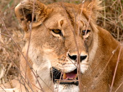 Lion (Perkins-Boyer Photos) Tags: tanzania lion safari africananimals flickrbigcats