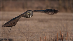 Great Grey Owl in Flight (wild bird!) (Raymond J Barlow) Tags: ontario canada bird nikon wildlife owl d300 greatgrey kingsville 200400
