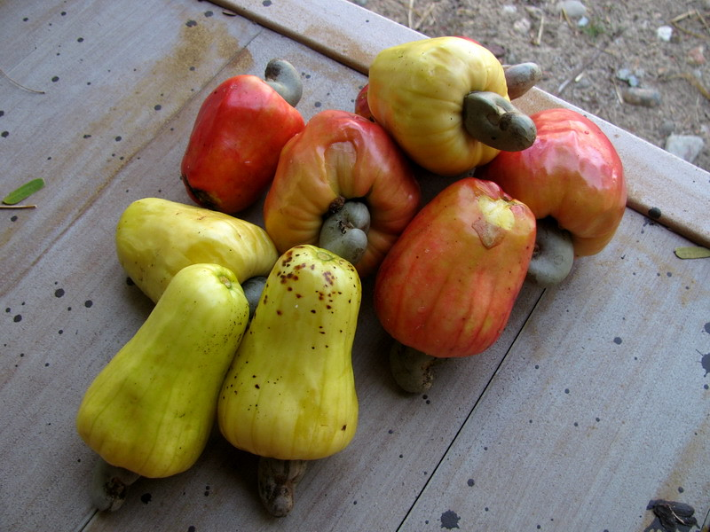 Cashew nut fruits Ko Phayam