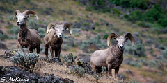 Three Amigos (S McKinzie / McKustoms) Tags: animals goat rams bighornsheep oregonwildlife