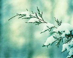 Winter Wonderland (CarolynsHope) Tags: winter snow cold color green colorful branch snowy turquoise teal branches minimal evergreen bluegreen