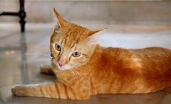 """WHILE URE AT TEH SUPERMARKET, GIT ME SUM TUNA, K?"" (stratman² (busy-taking care of Joey)) Tags: animalplanet friendsoftom oreengenesses kissablekat kittyschoice kittysuperstar gingercats kittehs cats orangecats kittens littlejoey canonphotography thebiggestgroupwithonlycats eos450d tamronspaf1750mmf28xrdiiivcasphericalif friendsofzeusphoebe dfp creativecommons ccbyncnd 猫 cute katzen kitteh chat kucing comel feline cat oreengeness ginger"