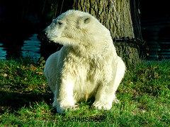 IJsbeer (Astrid Sibbes) Tags: bear white green water beer animal zoo groen gras wit dier ouwehands dierentuin roofdier dutchzoo panasoniclumixdmcfz18 ouwehandszoo