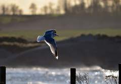 Alnmouth seagull (skyebodach) Tags: northumberland alnmouth d5100 nikon55300mm