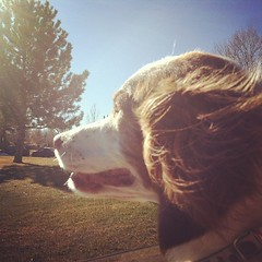 Dottie in the breeze (f l a m i n g o) Tags: dog pet animal square ears blow dot squareformat rise breeze effect dottie app iphone brittanyspaniel iphoneography instagramapp uploaded:by=instagram