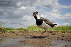 Northern Lapwing, Vanellus vanellus. (Nigel Blake, 2 million views Thankyou!) Tags: camera green nature water canon lens photography grey with angle image wildlife low wide taken system lapwing blake viewpoint nigel plover operated remotely peewit vanellus 2035mm eos1dsmkii birdperfect