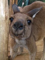 Kangaroo (meeko_) Tags: africa animals gardens way tampa florida kangaroo walkabout themepark buschgardens attraction busch buschgardenstampa birdgardens buschgardensafrica busch