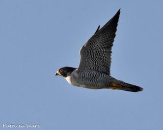A Swift Raptor