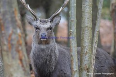 DSC00468 (Mark Coombes Photography) Tags: trees male deer antlers dorset sika