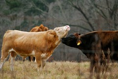 YES!  that's it, right there. (I'magrandma) Tags: neck cow cattle bull pasture scratch rub