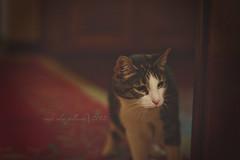 06.50   stalking parker (sidemtess   linda) Tags: cat 50mm kitten chat raw gato annie manual stalking 50mmf14 0650 anniefannie 60d sidemtess 50daysof50mm mybigbeautifulgirl shehasbeenhissingandgrowlingatparkerbutithinkshewillaccepther doingthecatthing