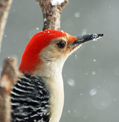 2012-13 (picturesinmylife_yls) Tags: red project woodpecker ngc bellied avianexcellence flickrdiamond 201213 blinkagain allnaturesparadise flickrstruereflection1 flickrstruereflection2